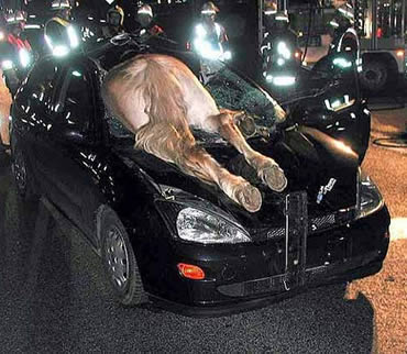 collision - horse through windshield of car