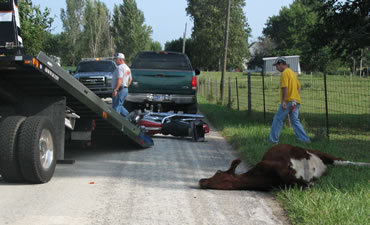 motorcycle and cow collision